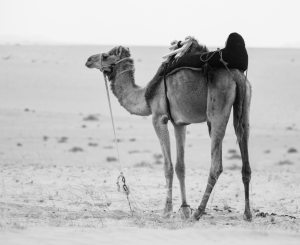 Black and white camel in the desert, tied up with traditional harness.
